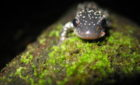 NPR's Living On Earth interviews Dr. Woodhams: Good Bacteria Could Save Amphibians