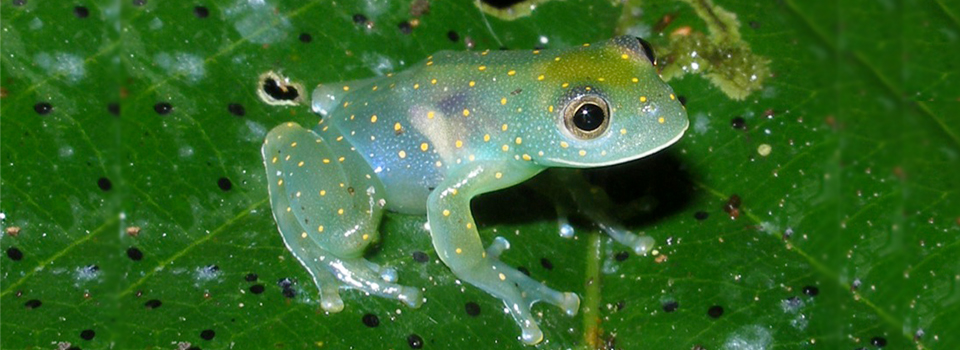 see-thru-frog-2